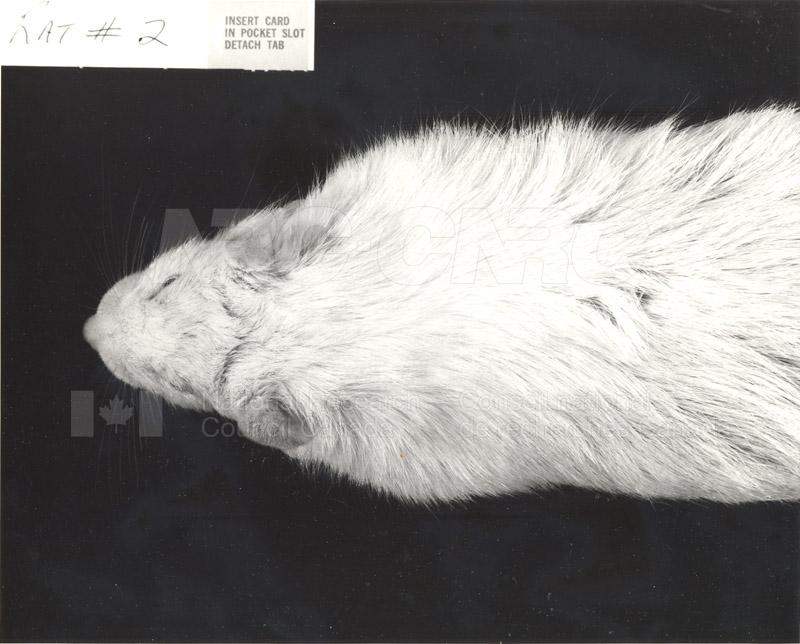 Rat #2, Rat #3 001