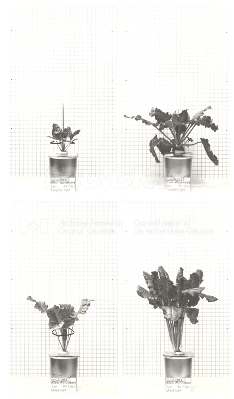 Sugarbeet Growth