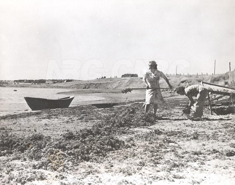 Carageen- 'Irish Moss', PEI c.1946 002