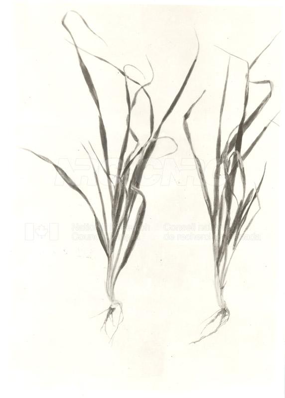 Diseased Barley Plants c.1933 002
