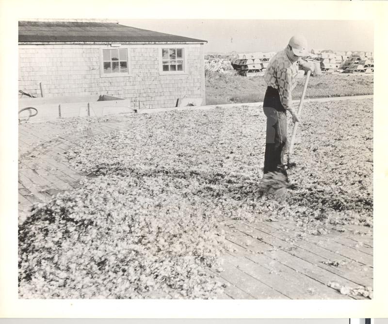 Carageen- 'Irish Moss', PEI c.1946 007