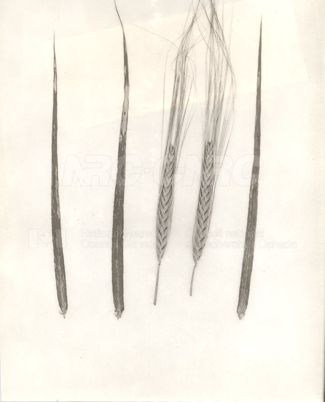 Division of Biology and Agriculture- Diseased Barley Plants (KK-77c) c.1933