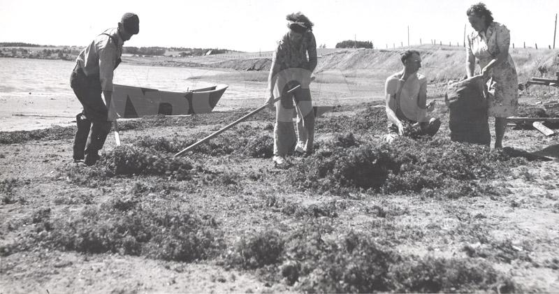 Carageen- 'Irish Moss', PEI c.1946 008