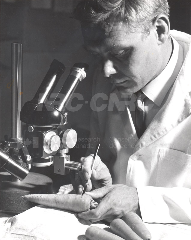 Biosciences Division- Experiments to Determine the Effect of High Humidity on the Storage Life of Carrots 1966 002