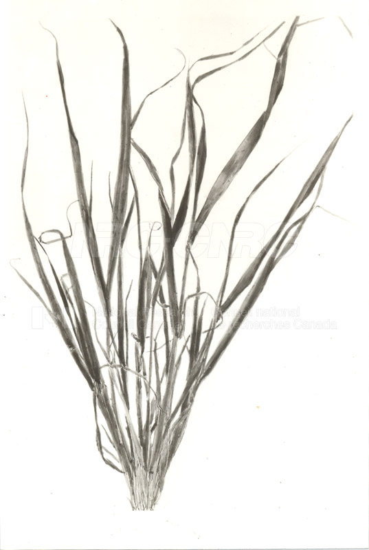Diseased Barley Plants c.1933 003
