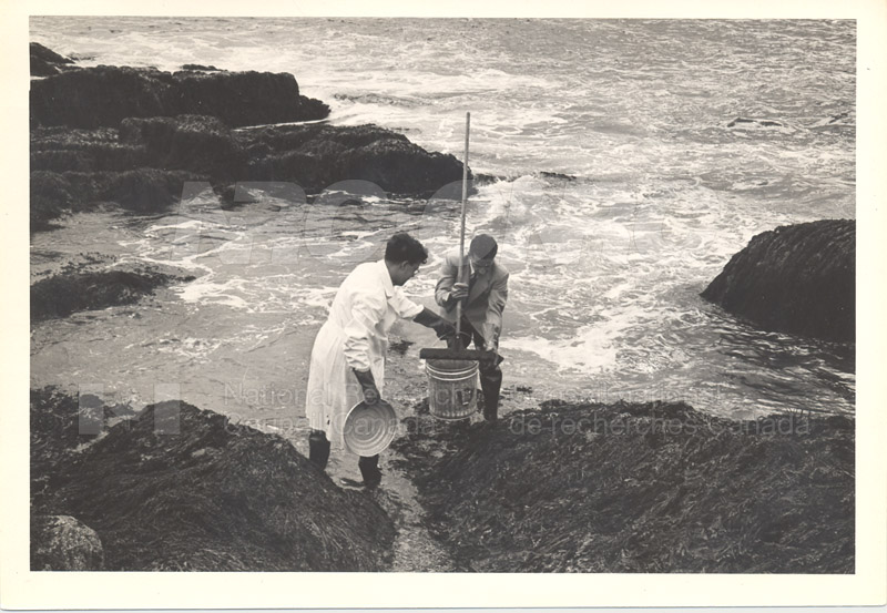 Collecting Red Algae (Irish Moss) Terrance Bay 1956