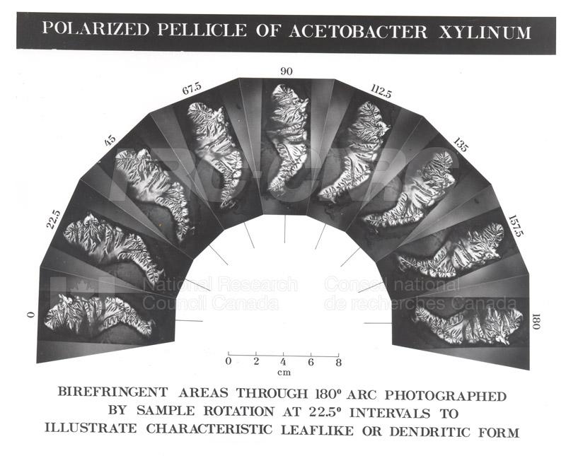 Polarized Pellicle of Acetobacter Xylinum